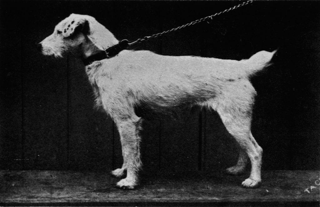 Fox Terrier - Storia