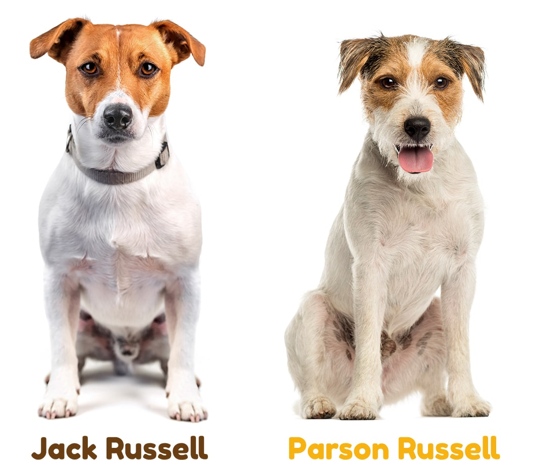 Jack-Russell e Parson Russell