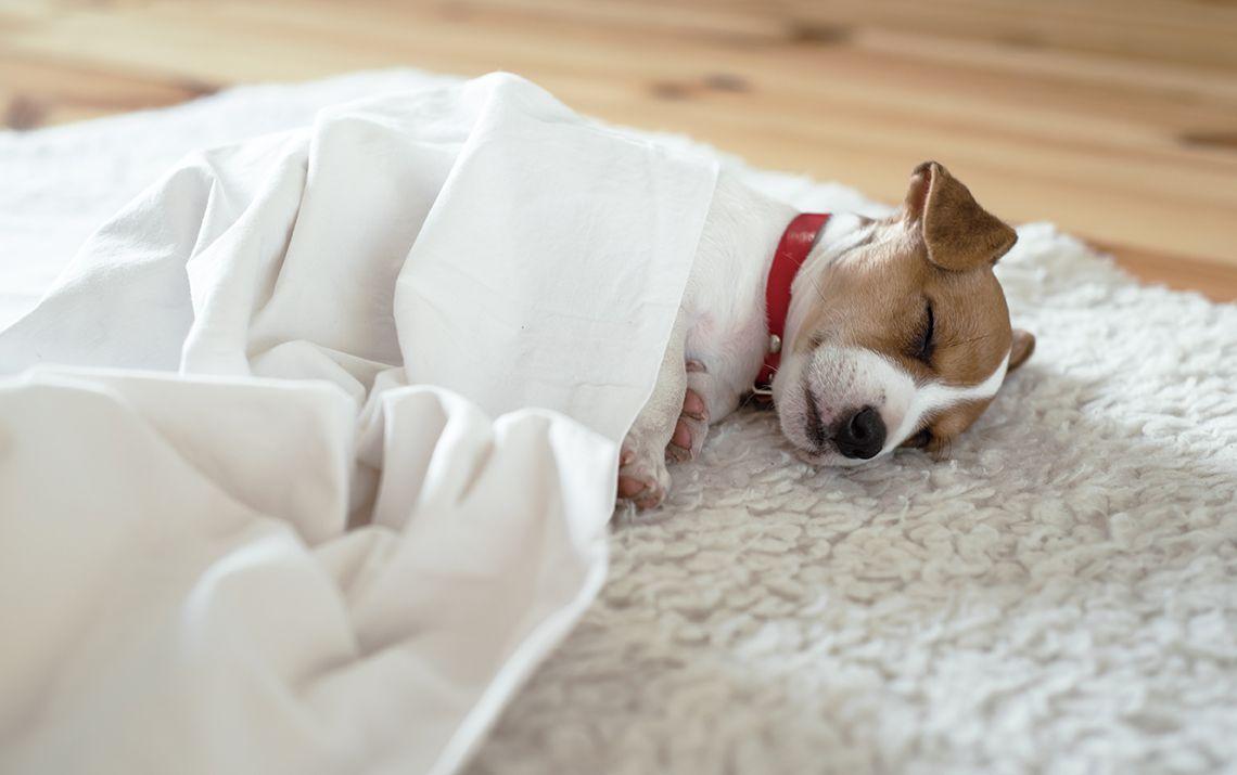 La salute del cucciolo di Jack Russell