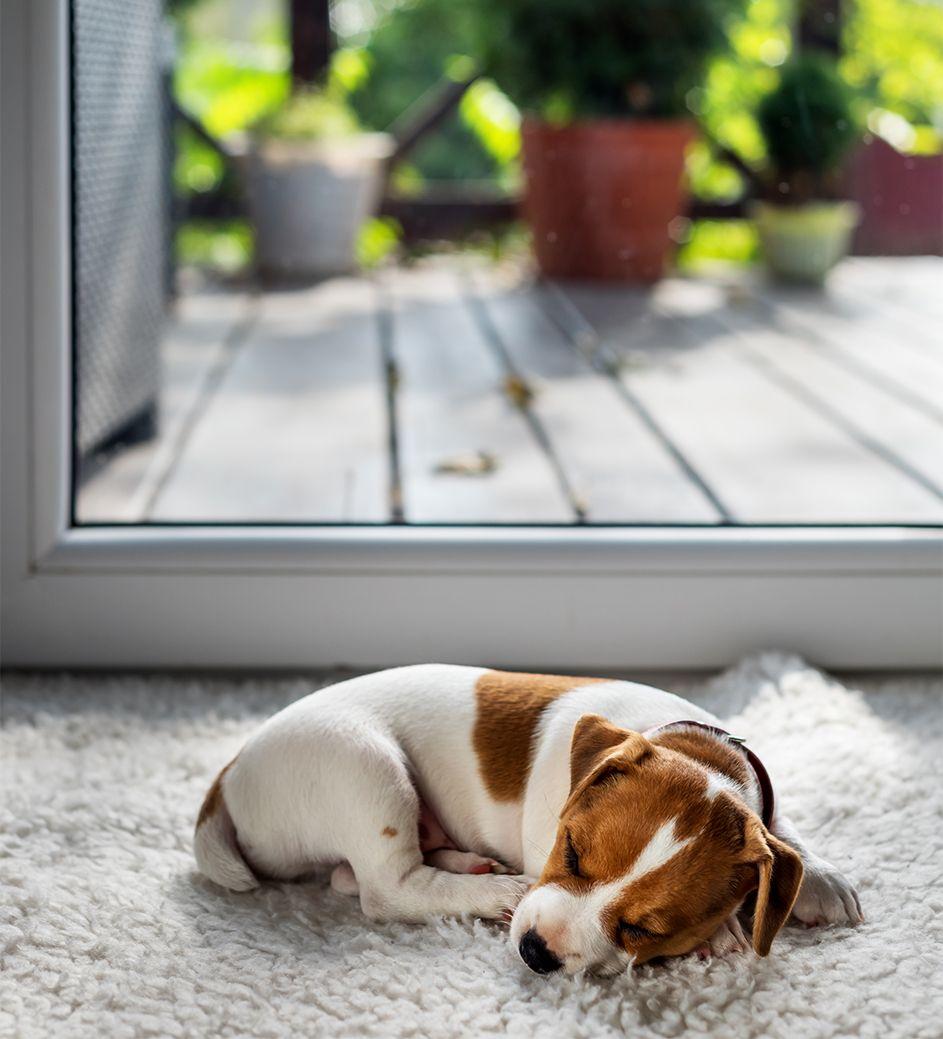 Cucciolo di Jack Russell che dorme