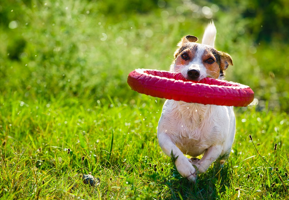 Giochi Jack Russell