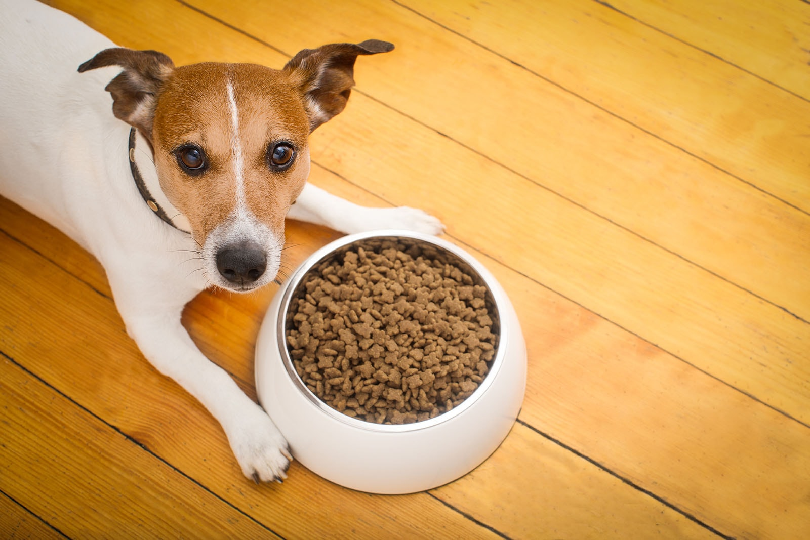 Alimentare il Jack Russell
